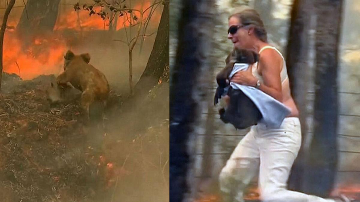 Rescued from Aussie Bushfire, Lewis the Koala Dies a Week Later