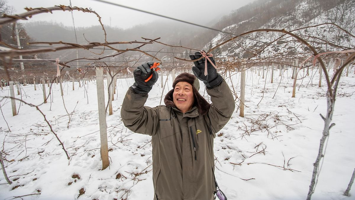Huang Huaimin, a resident of Guzhai Village, trimsthe branches of a kiwi fruit tree. In 2016, Huang got a loan of 50,000 yuan (aroundUS$7,000) for planting kiwi fruit trees.