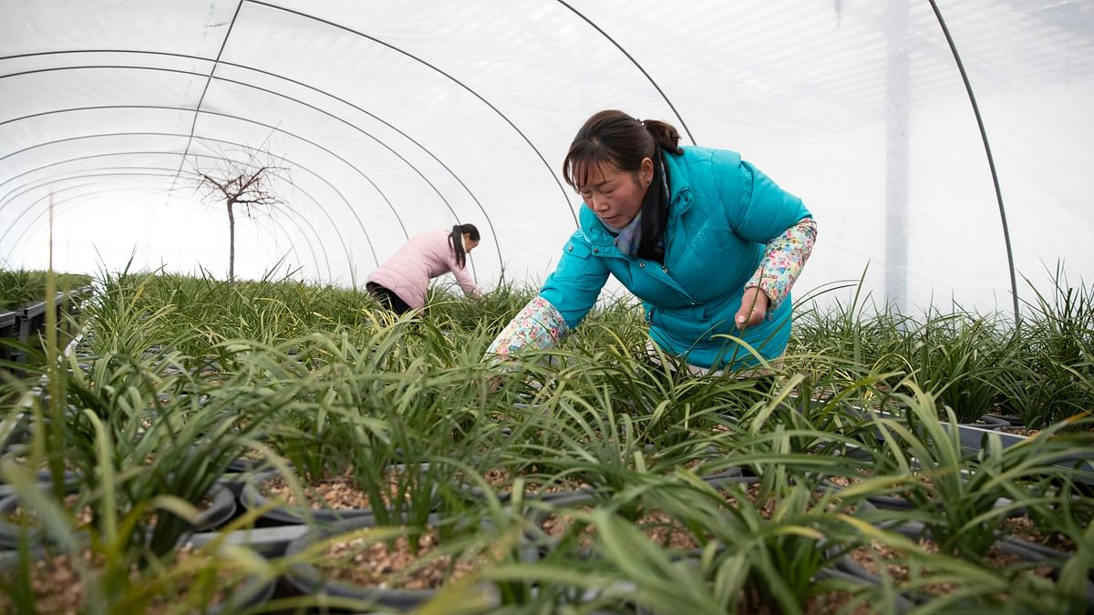 Farmers of an agricultural cooperative in Guzhai Village, Lushi County, are raising orchids.Founded in 2018, the cooperative has helped 10 households in the village rise from poverty.