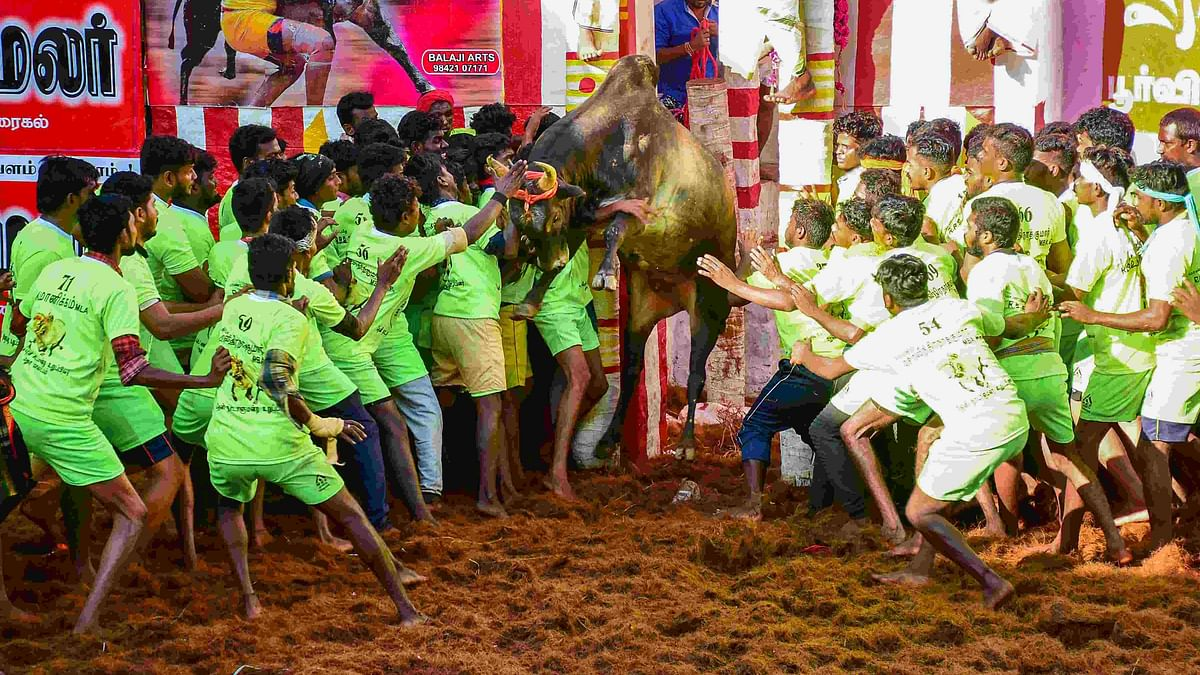 Green Signal for Jallikattu by TN Govt Amid COVID-19 Pandemic