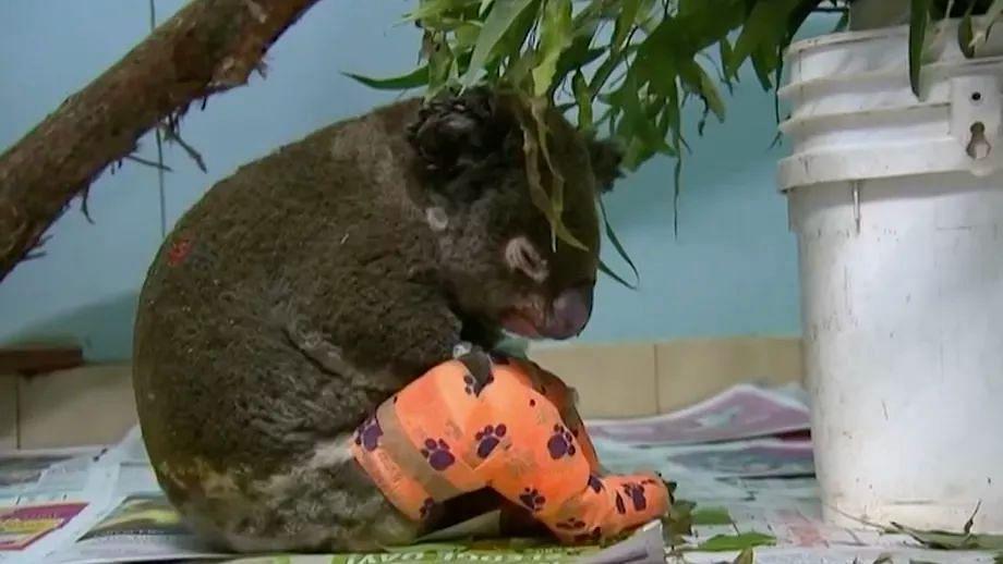 Australia May List Koalas as 'Endangered' Amid Bushfire Crisis
