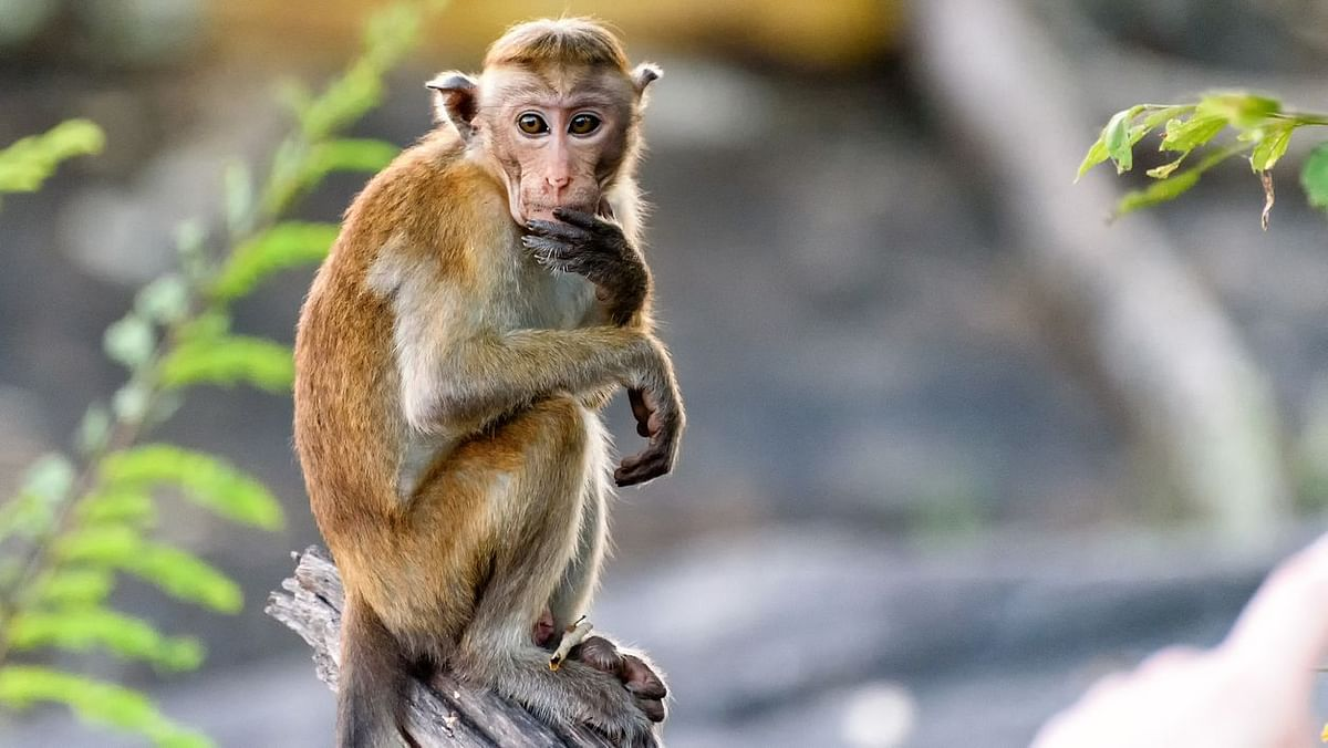 Kyasanur Forest Disease  or monkey fever scare has reached Bengaluru.