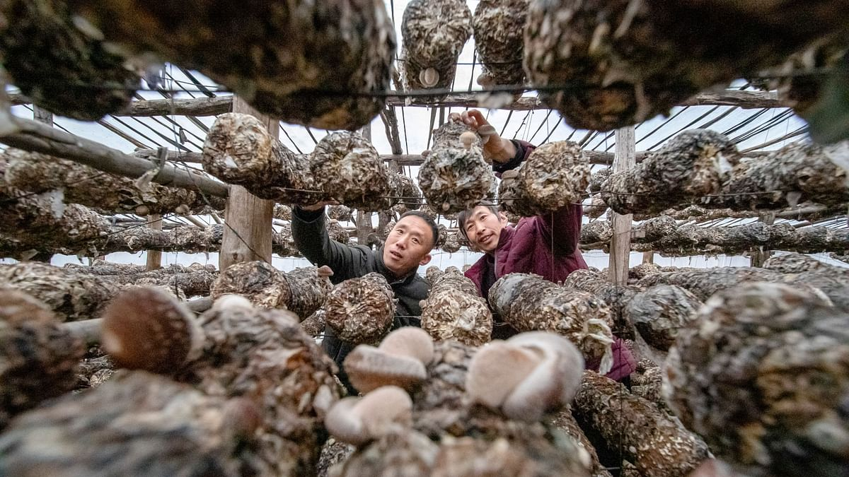 Wang Junwei (left), first Party secretary in charge of poverty alleviation in Miaoshang Village, part of Guzhai Village in Lushi County, visits a local villager who grows shiitake mushrooms. Currently,210 of the 270 households in Guzhai Village are engaged in shiitake mushroom cultivation.