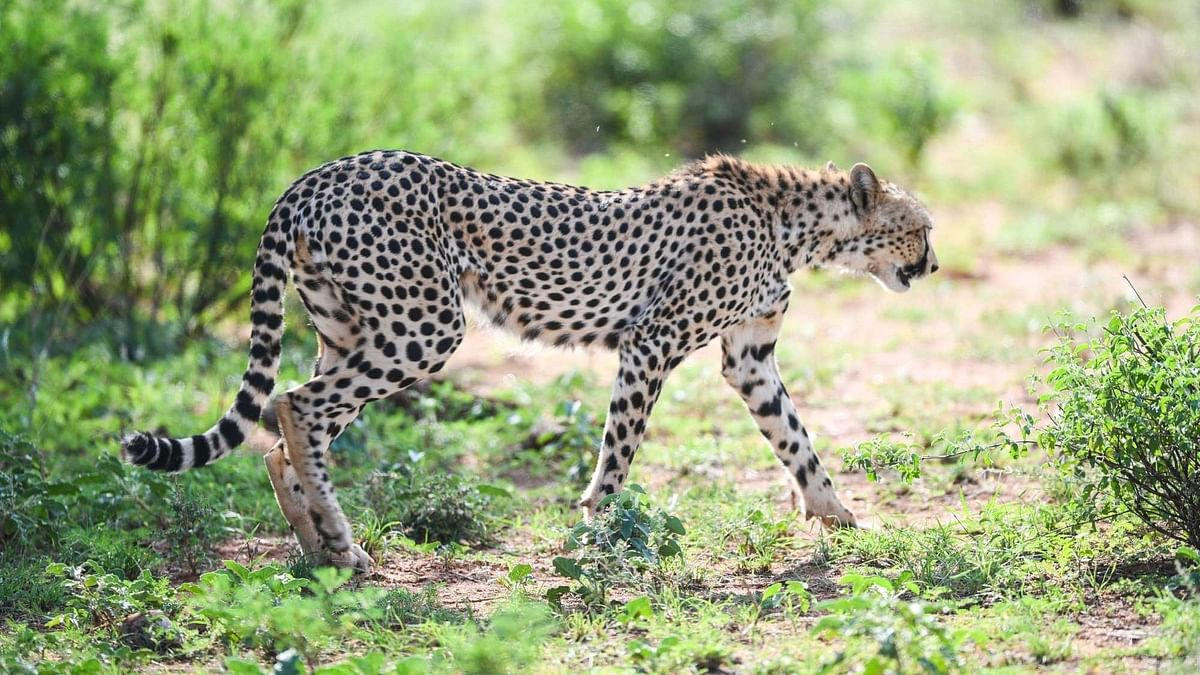 SC Allows Govt to Bring African Cheetah to Suitable Indian Habitat