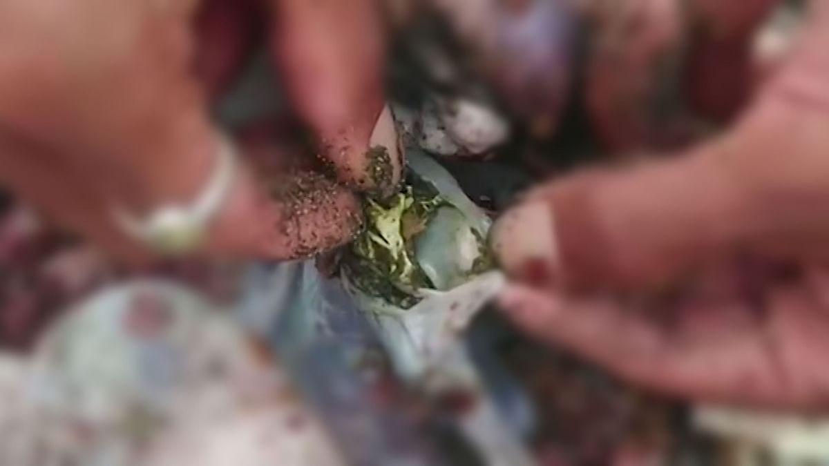 Dead Turtle Washes Ashore in Bali With Plastic in Intestine