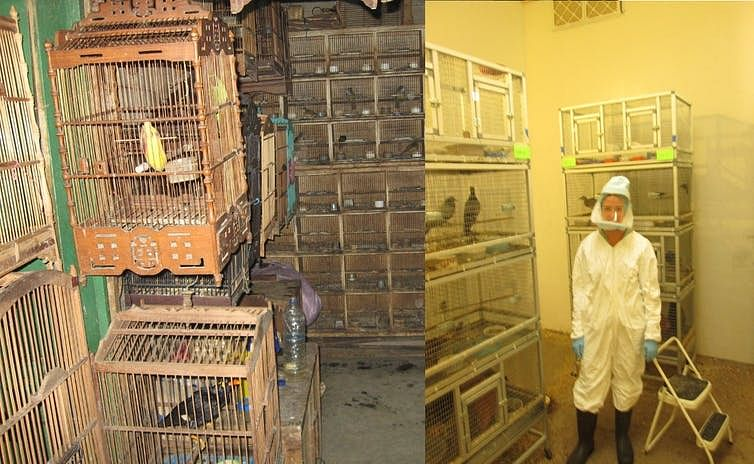 A live-animal market in Indonesia (left) and an artificial market established to study interspecies transmission of avian influenza viruses as viewed through the window of a biosafety containment level 3 room.