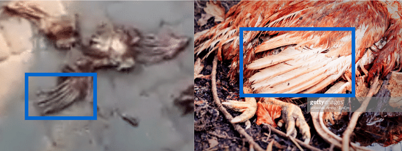 Left: Screengrab of video. Right: Feathers of a rooster.