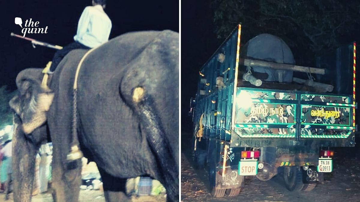 Jamela, the rescued elephant.