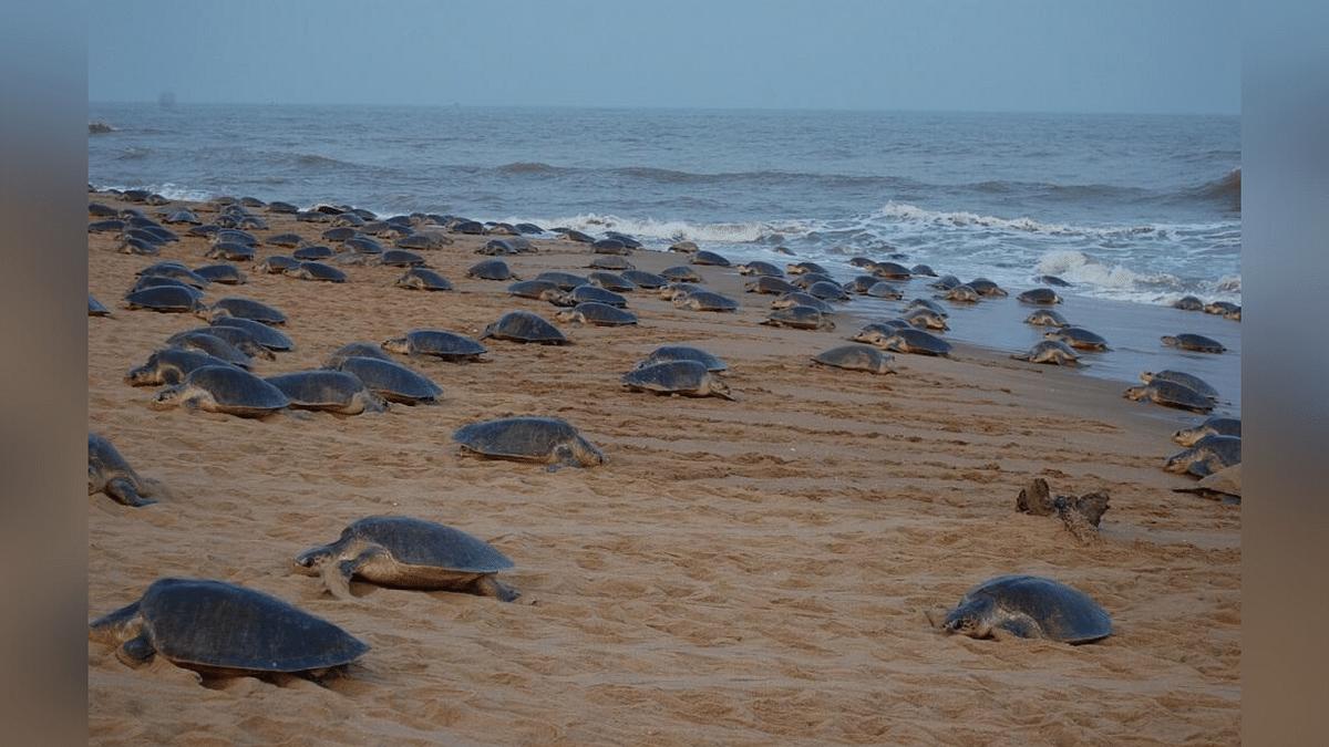 Amidst Lockdown 8 Lakh Olive Ridley Turtles Return to Odisha Coast