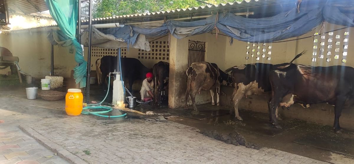 ,Doing relatively better is Harpreet Singh, who has 12 cows. After over a week he has started selling milk to Punjab government-owned Verka.
