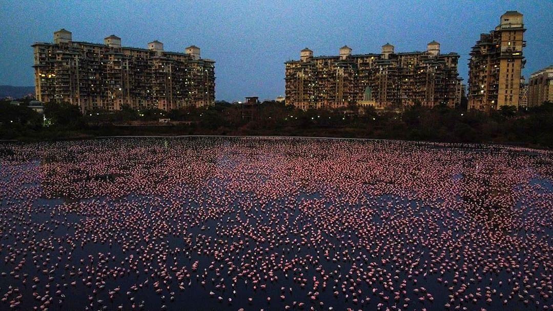 Flamingos spotted in Navi Mumbai.