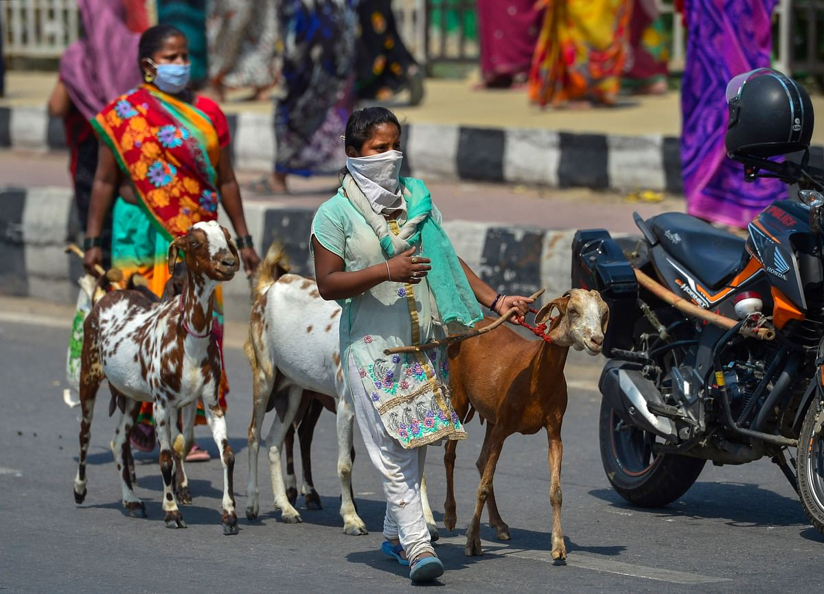 Women, wearing masks, walk with their goats along a road amid lockdown, in New Delhi, Thursday.
