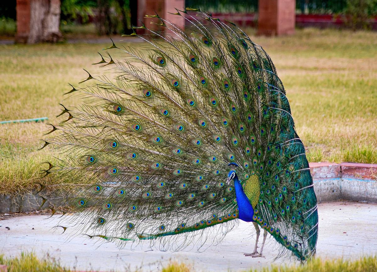 A peacock displays its colourful plumage, in Bikaner, Tuesday.