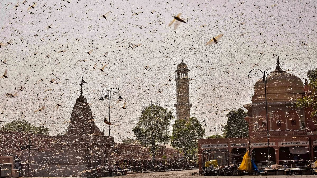 Swarms of locust were seen in the walled city of Jaipur on Monday, 25 May.