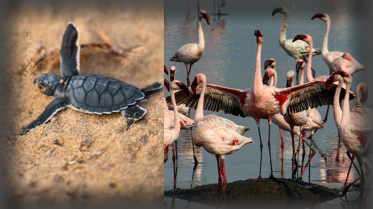 Watch: Flamingos Turn Mumbai Pink, Turtles Flock to Odisha Coast