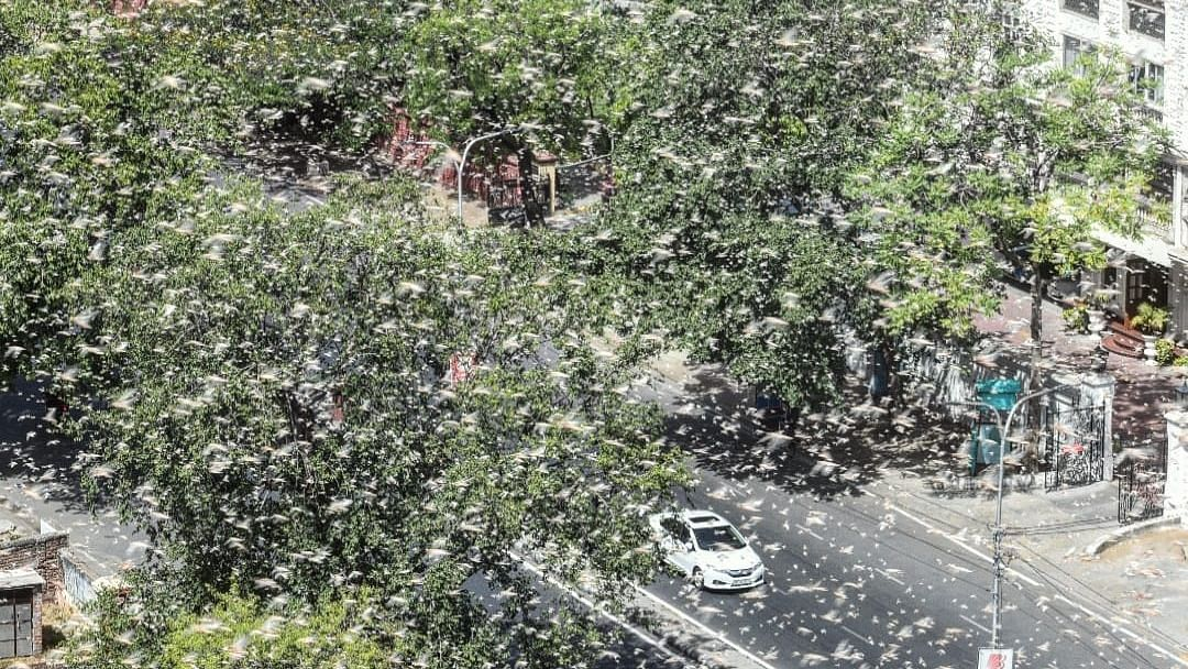 After Wreaking Havoc in MP & Rajasthan, Locusts Enter Maharashtra