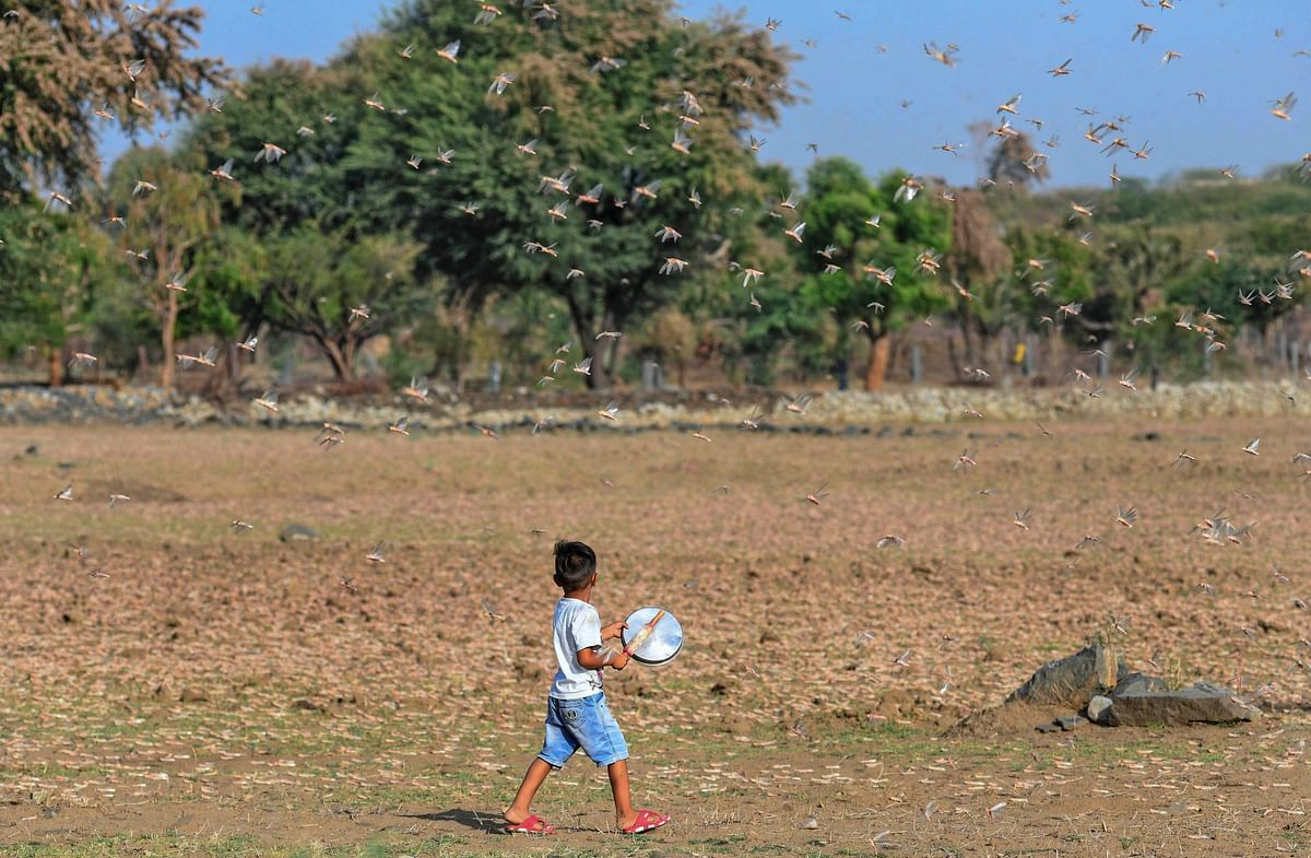 A young child attempts to chase away a swarm of locusts, at Fatehgarh Salla village near Beawar, Monday.