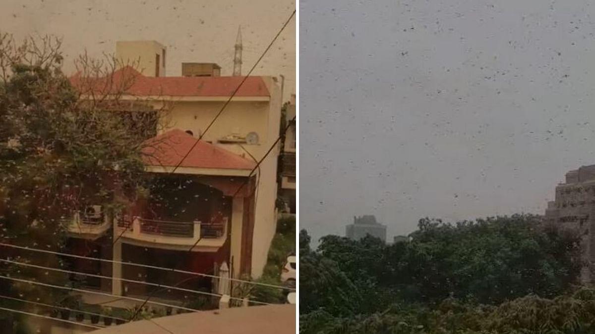 Locust Swarms  Hit Gurugram, Residents Use Mikes, Loudspeakers