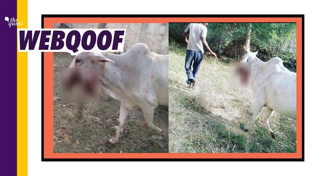 Cow in Viral Images the One Injured in HP? No, It's From Rajasthan
