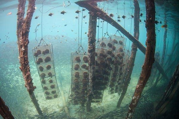 Underwater pearl farm.