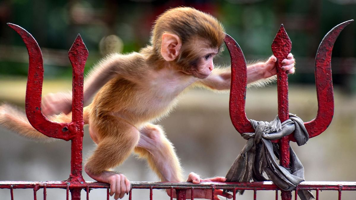 A baby monkey tries to walk on a gate of Navagraha temple, during the fifth phase of nationwide COVID-19 lockdown, in Guwahati.