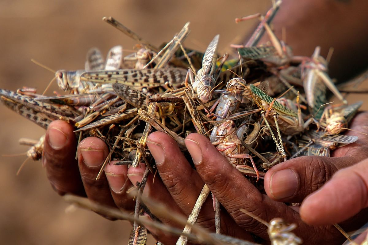 A farmer shows dead locusts at a farm after spraying of pesticides by an agriculture department team, on locust swarms, on the outskirts of Ajmer.