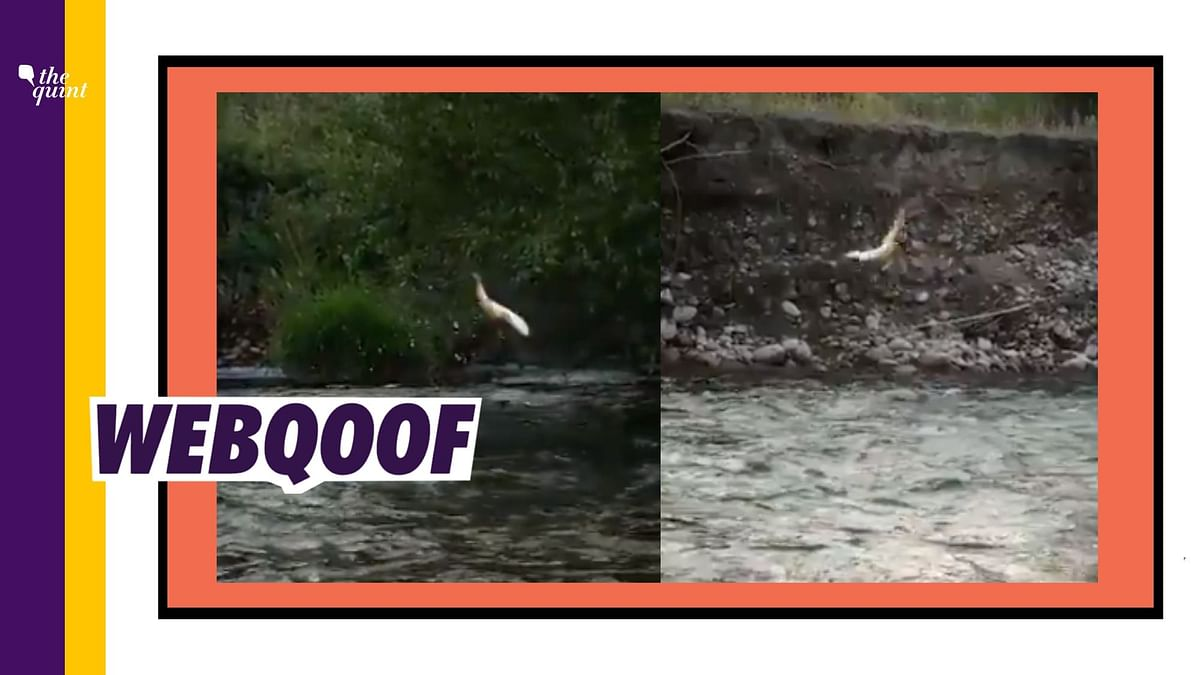 This Video of A Fish is Old And From US, Not of Beas Near Manali