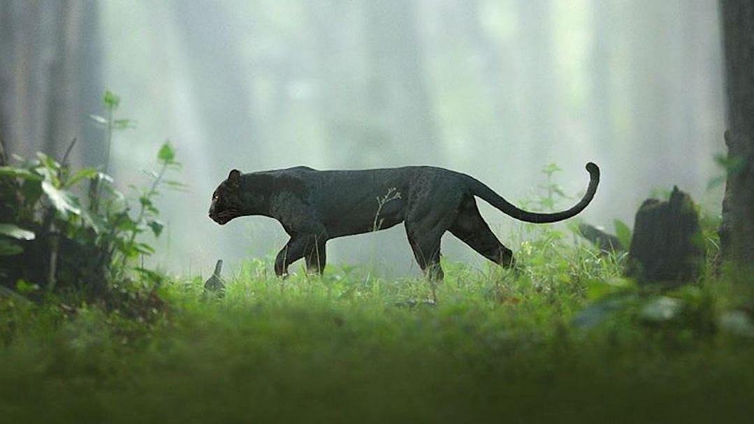 Karnataka Black Panther Pic Goes Viral, People Call It 'Bagheera'