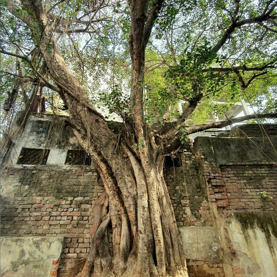 The peepal tree outside Saida's house, still there.