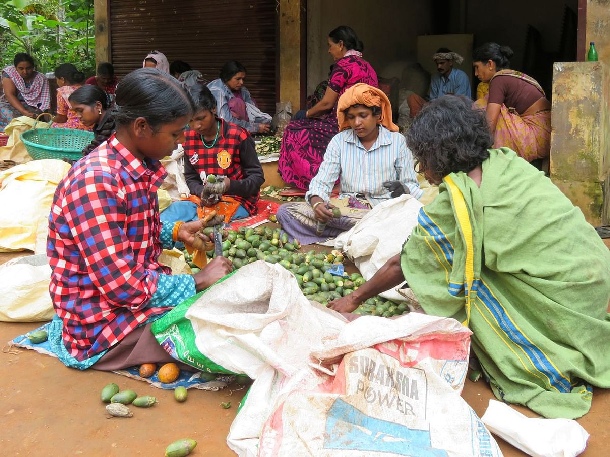 Adivasi women peeling areca nuts – the uncertainty of wage labour on the farms and estates here means uncertain family incomes and rations.