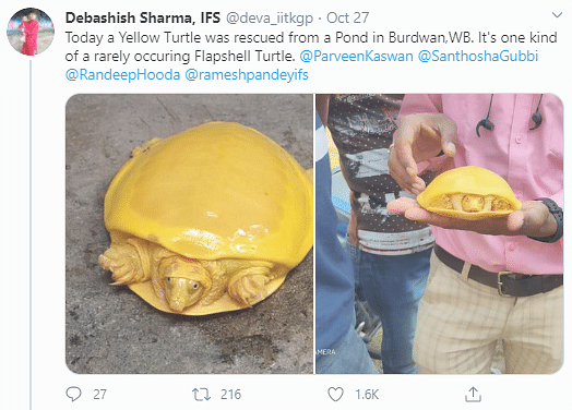 Rare Yellow 'Albino' Turtle Spotted In Bengal Stuns Twitter
