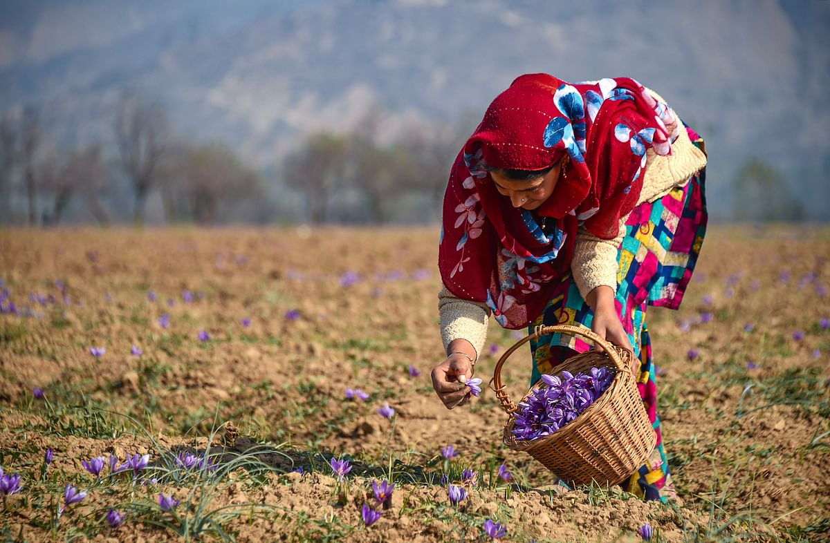 A woman plucks saffron flowers from a field at Pampore in Pulwama district of south Kashmir, Tuesday, 27 October, 2020. Farmers in the Valley are concerned at the falling yield of the saffron crop year after year with the changing climatic conditions responsible for a 50 to 60 percent decrease in the yield from the last several years