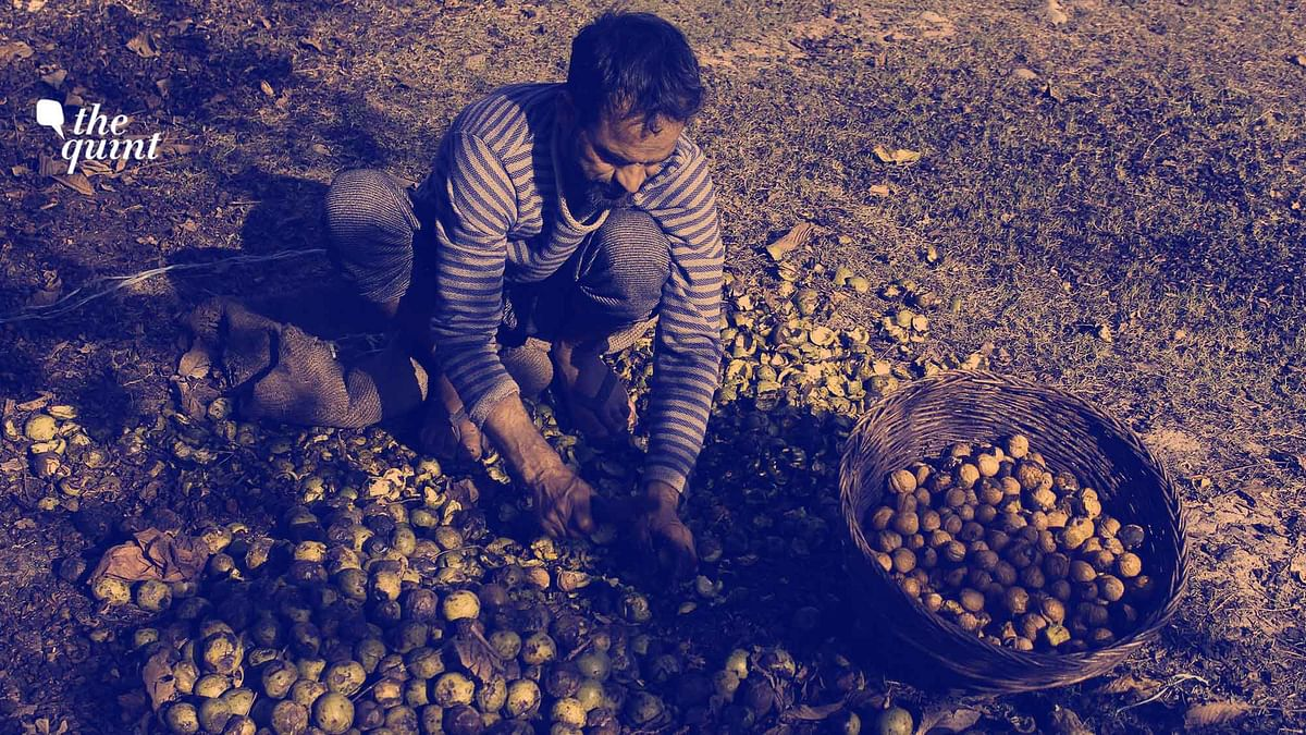 How China's Walnut Trade Caught Up & Why J&K's Is on the Decline