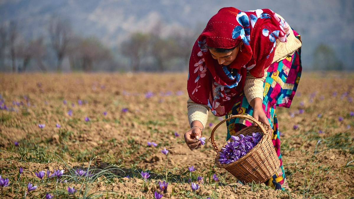 A woman plucks saffron flowers from a field at Pampore in Pulwama district of south Kashmir, Tuesday, 27 October, 2020.