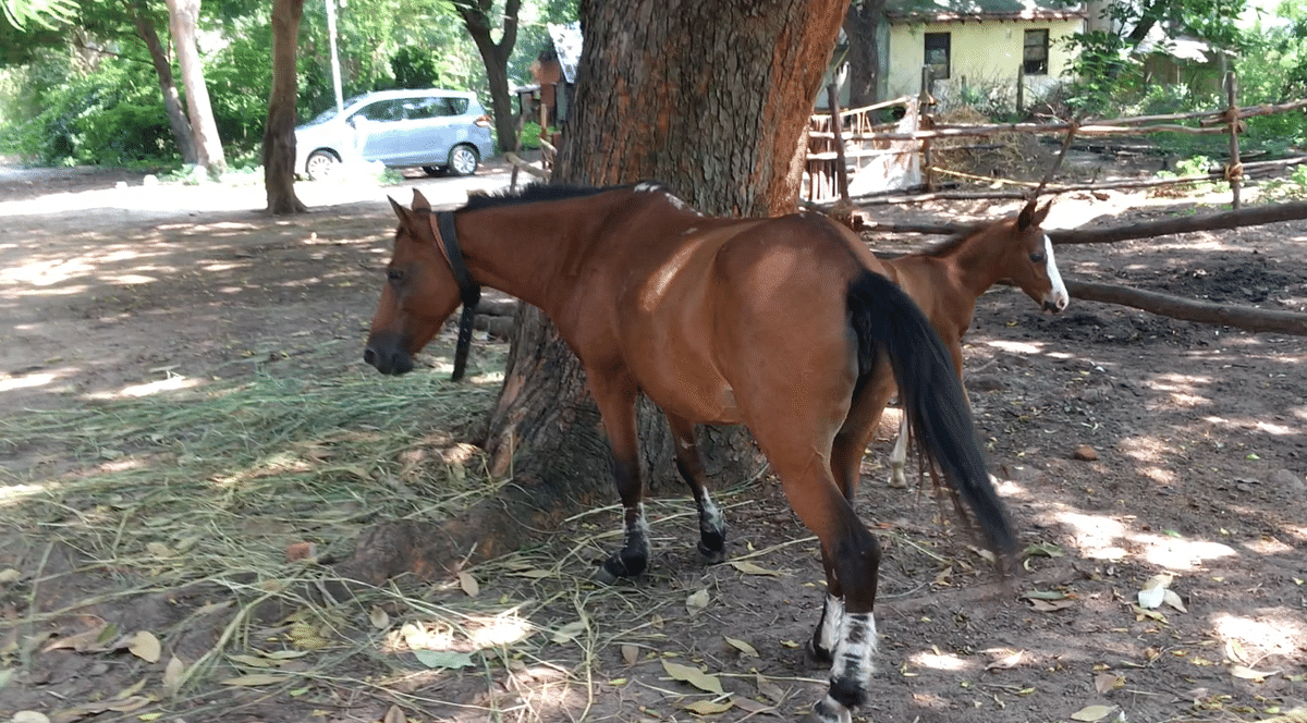 The adorable horse Maara was discovered with a bad maggot wound.