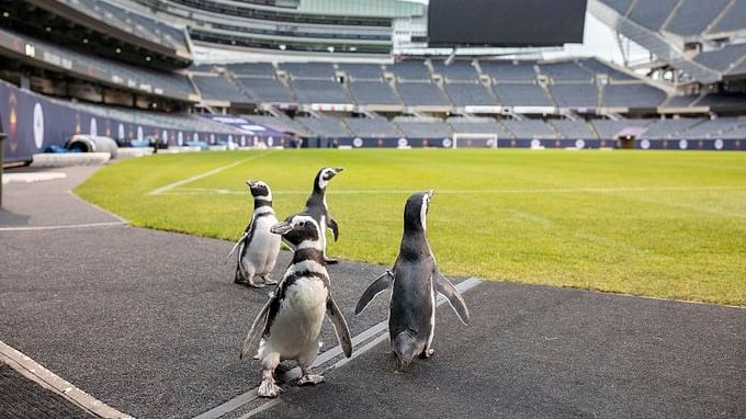 Penguins Izzy, Darwin, Tombo and Charlotte at Soldier Field, Chicago.