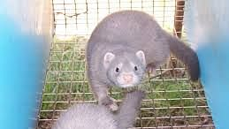 As a precautionary measure, up to 17 million minks will be culled to protect people in Denmark.