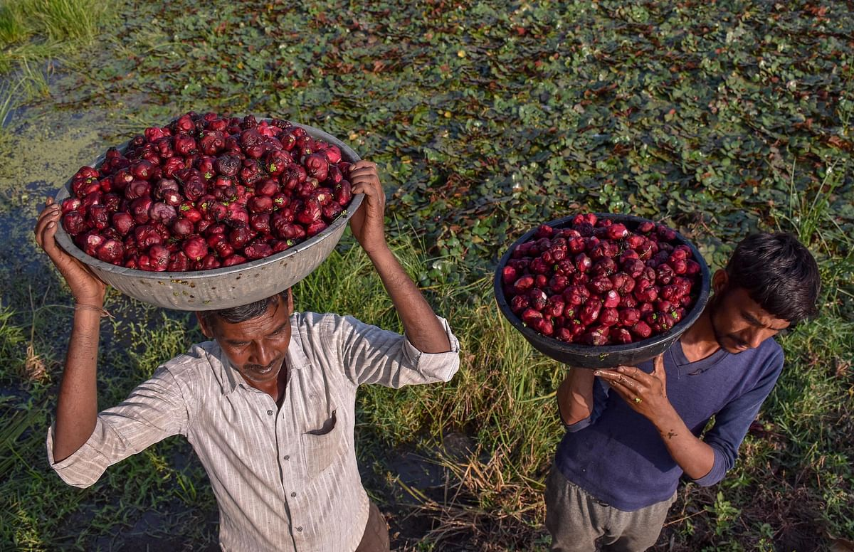 Farmer collects water chestnut, locally known as Singada from a pond on the outskirts of Jabalpur.