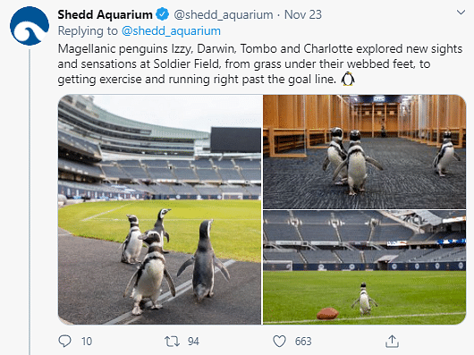 Watch: 4 Adorable Penguins Set Out To Visit a Football Stadium
