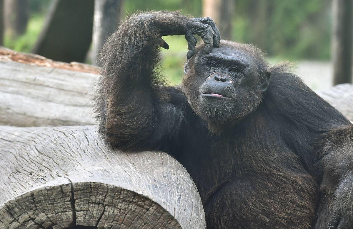 A Chimpanzee sits inside an enclosure at Alipore Zoological garden, in Kolkata.