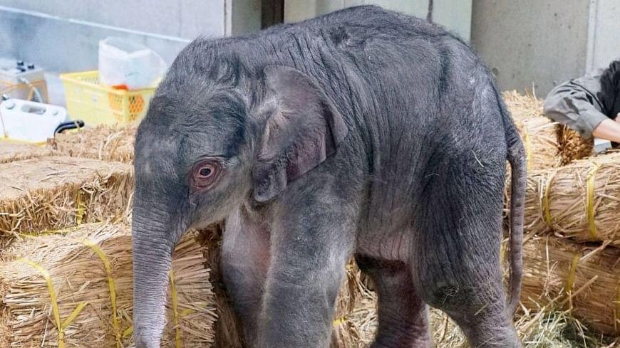 Japan's Oldest Zoo Unveils Baby Elephant, Needs Help Naming It