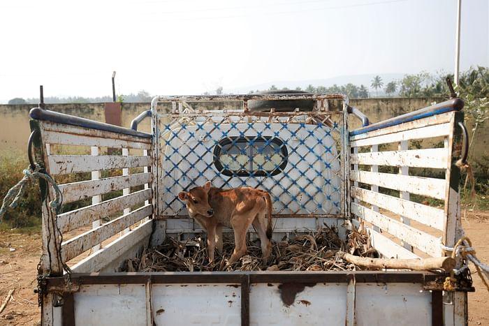 A calf for sale at Terakanambi market.