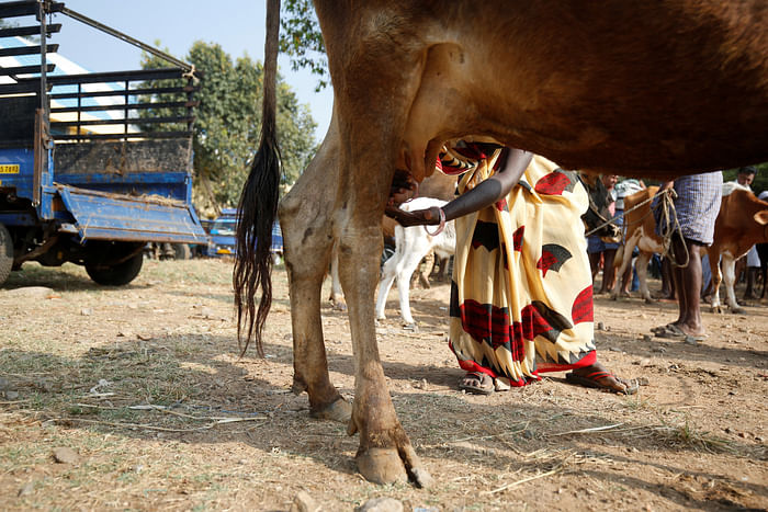 A woman farmer inspects the udders of a cow at Terkanambi market