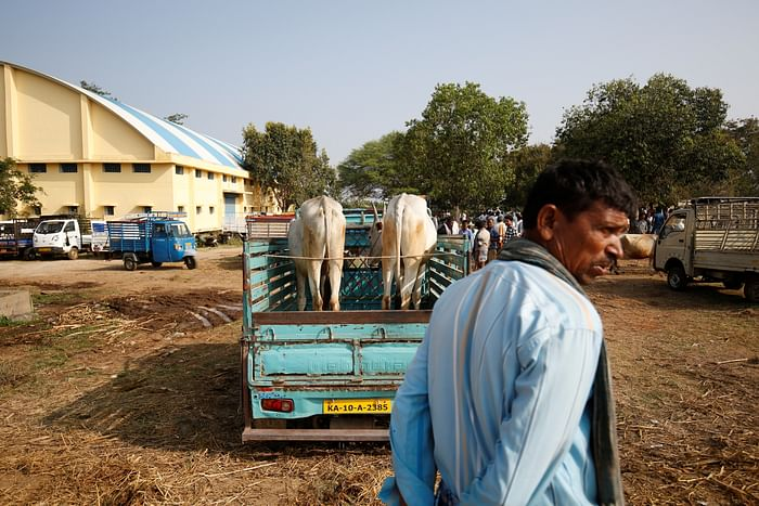 Cattle brought to Terakanambi market for sale.