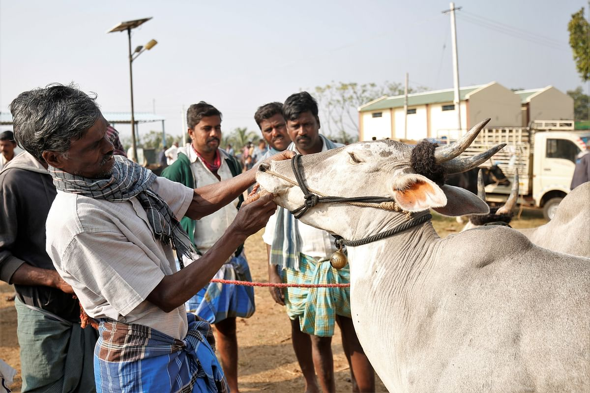 A farmer inspected a cow's teeth at Terakanambi market