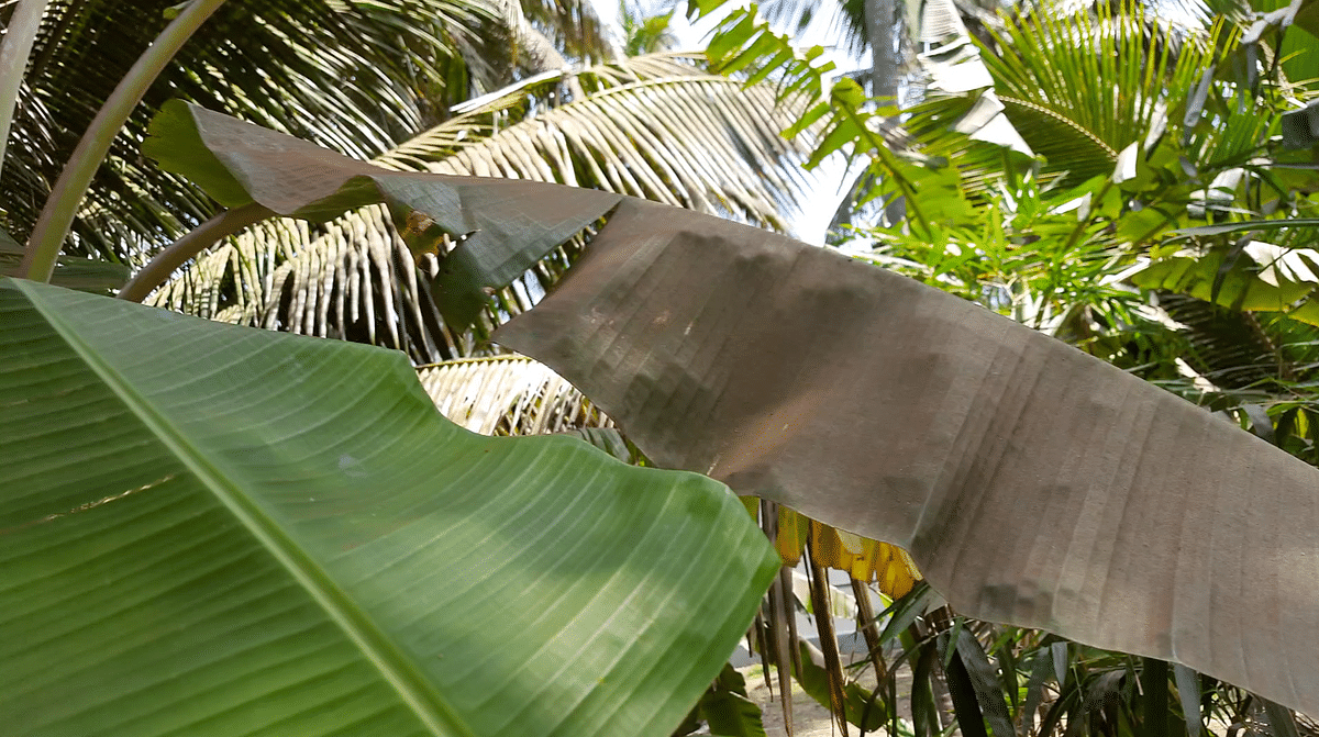 The brown layer on one of the leaves is coir pith dust that has settled overtime.