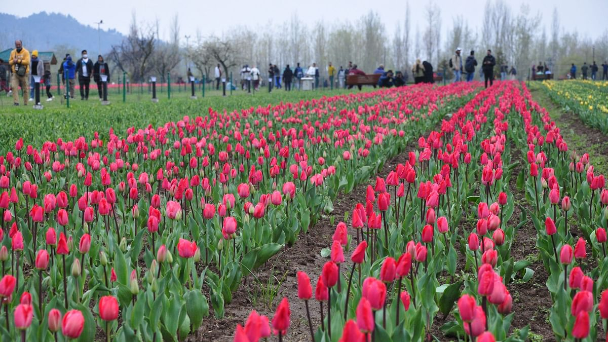 In Photos: Asia's Largest Tulip Garden in J&K Opens for Visitors