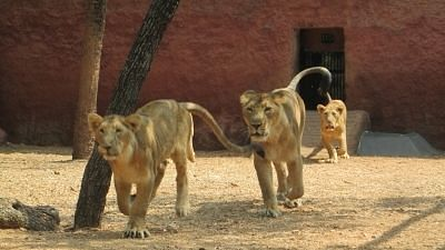 8 Asiatic Lions Test COVID Positive At Hyderabad Zoo