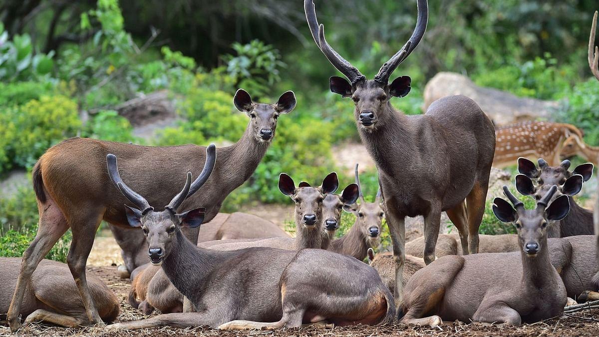A herd of Sambhar Deer rest inside the Bannerghatta Biological Park in Bengaluru