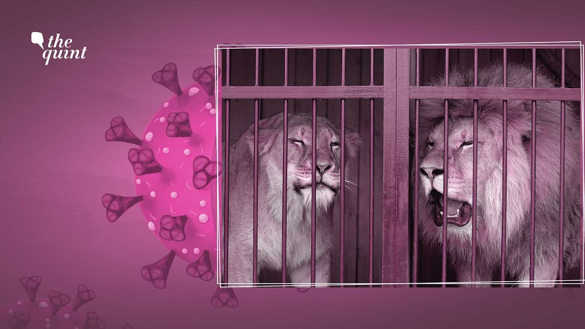 """<div class=""""paragraphs""""><p>With eleven of its lions testing positive for coronavirus, Tamil Nadu's Arignar Anna Zoological Park has turned into a COVID animal cluster.</p></div>"""